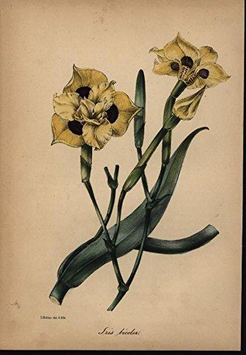 Iris Vibrant Gold Simplistic 1842 antiqu - Lithograph Iris Shopping Results