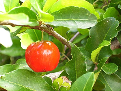 1 Starter Plant of Barbados 'Acerola' Cherry Tree in Gallon Pot