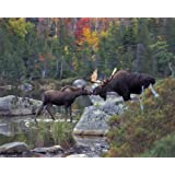 White Mountain Puzzles Kissing Moose - 1000 Piece Jigsaw Puzzle