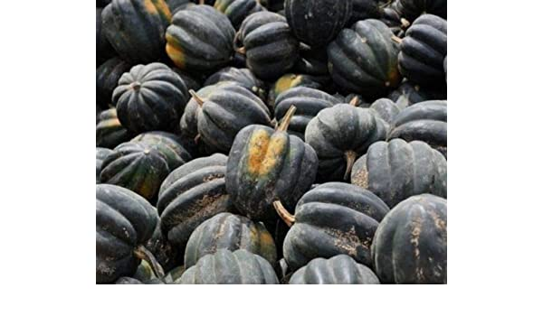 Trucker/'s Favorite Yellow Corn Seed ½oz - 8oz Dent Field Maize Treated Seeds