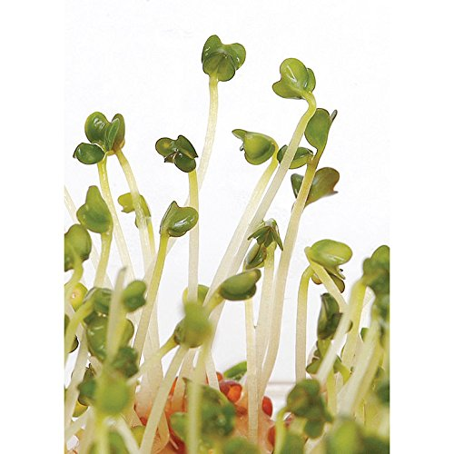 Davids Garden Seeds Sprouts Broccoli Edible Organic CE8033 (Green) One Ounce Pack