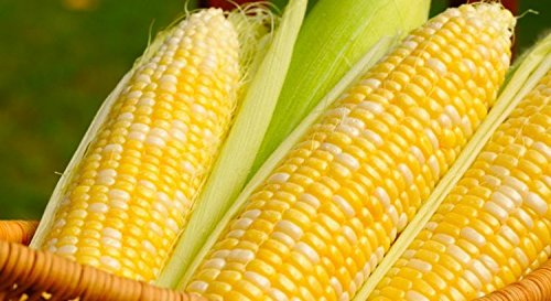 Peaches & Cream Sweet Corn Seeds, 1 - Pound 1 Corn