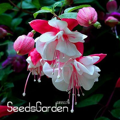 New Arrival!Multicolor Pink Double Petals Fuchsia Seeds Potted Flower Seeds Plants Hanging Fuchsia Flowers 50 Seed/Bag, #F3XQF5 : Garden & Outdoor