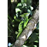 Basilisk Lizard on a Tree Journal: 150 Page Lined Notebook/Diary