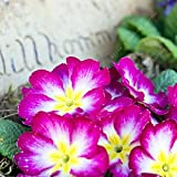 100 Pcs Blue Evening Primrose Flowers Colorful Mixed Seeds Bonsai Plant Garden Balcony Ornamental Home Primula Malacoides Flower Purple White