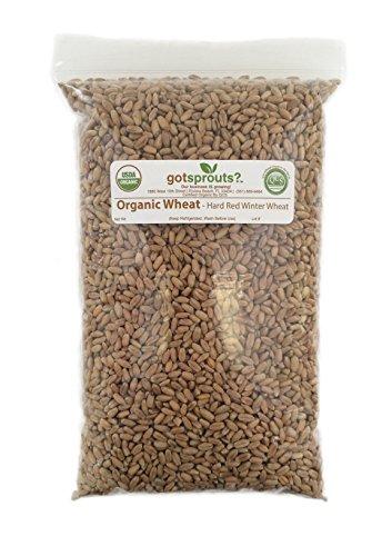 1 LB Organic Wheat Seeds (Hard Red Winter Wheat)