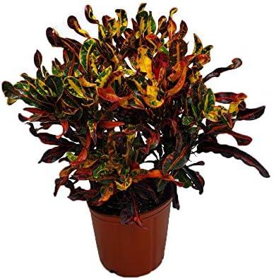 Mammy Croton Live Plant IndoorOutdoor Air Purifier! 6 1 Gallon Pot