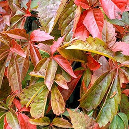 Wilder Wein 50-60 cm Pflanzcontainer Parthenocissus Quinquefolia Engelmannii