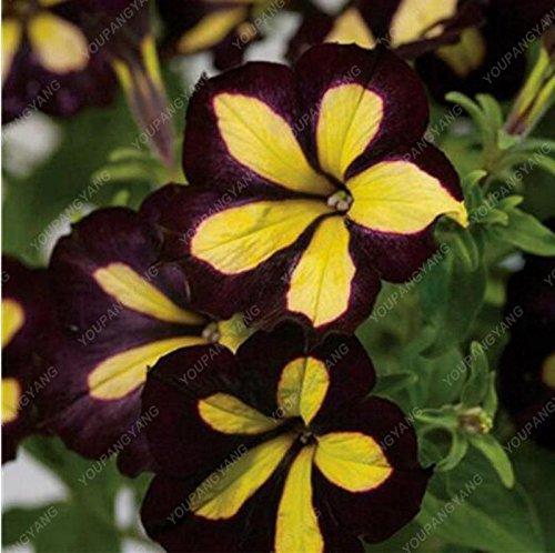 100 Seed 9 Colors Calibrachoa Organic Petunia Seed Mixed 'Garden Petunia' Very Beautiful Flower Seed-Land Miracle Burgundy (Seed Petunia Organic)