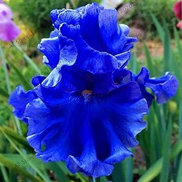 50pcs / sac couleurs mélangées Graines Iris fleurs, graines de fleurs rares  barbus graines d