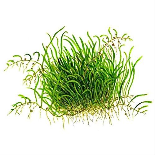 Tropica Utricularia graminifolia Live Aquarium Plant - In Vitro Tissue Culture 1-2-Grow!