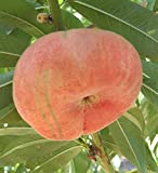 September Snow Freestone Peach Tree--Shipped in Soil on Foam Cushion, Five Gallon Container