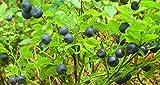 20 BILBERRY Fruit Shrub European Blueberry