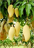 Nam Doc Mai Grafted Mango Tree - Thai Favorite Mango
