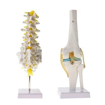 gazechimp Learning Resources -- 1: 1 Skelett Joint de Knie ...