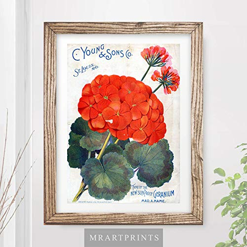 VINTAGE GERANIUM FLOWERS FLORAL ADVERTISING ART PRINT Shabby Chic Home Decor Victorian Illustration Painting Wall Picture A4 A3 A2 (10 ()
