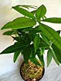 Kokedama - Pachira Janapese Money Tree Natural Moss Ball - Japan Bonsai Plant