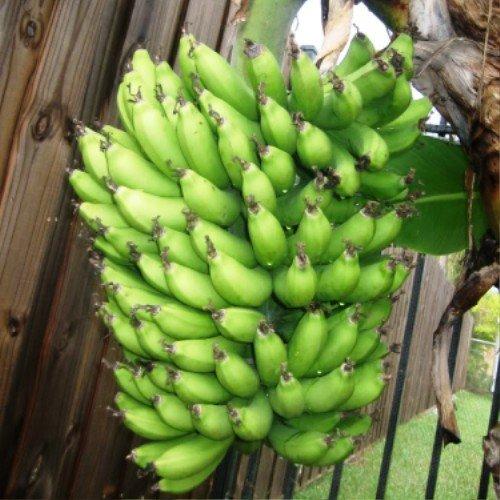 Banana Plants Dwarf Cavendish Four