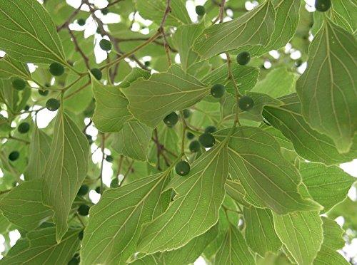 Celtis laevigata SOUTHERN HACKBERRY TREE Seeds!