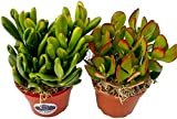 Fat Plants San Diego Crassula Ovata Succulent Plant Packages (2, ovata gollum1 Round 1 Gollum)