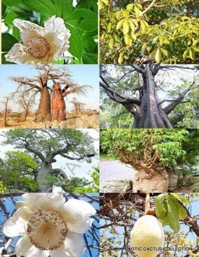 Cacti Succulent Seeds Adansonia Digitata Baobab Tree 10 Seeds Bonsai Garden Patio Quatrok Com Br