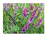 David's Garden Seeds Cover Crop Hairy Vetch Organic SV9876 (Purple) One Ounce Package