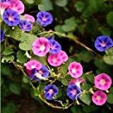 20 seeds/pack Ipomoea Nil seeds balcony bonsai flower vine dwarf Ipomoea Nil