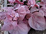 Orach Purple (Atriplex Hortensis) Vegetable Plant Heirloom, 1g (0.03oz) Seeds