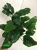 Anubias nana Mother Pot Plant M008 Live Aquatic Plant