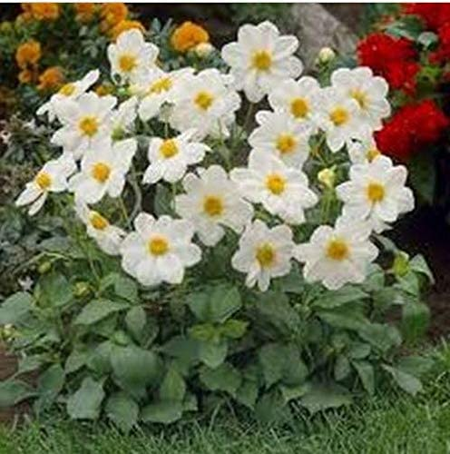 Variabilis Dahlia Mignon Rose 25 seeds