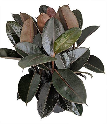 Buy rubber tree plant indoor