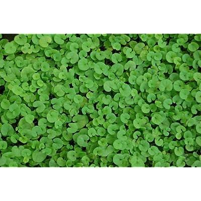 100 Kidney Weed Seeds, Ground Cover Seeds, Dichondra, Non-GMO Heirloom Seeds 100ct : Garden & Outdoor