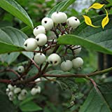 RED BARKED DOGWOOD Cornus Alba 10,20,40 SEEDS