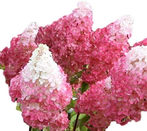 Vanilla Strawberry Pink Panicle Hydrangea - Live Plant - Full Gallon Pot by New Life Nursery & Garden (Image #4)