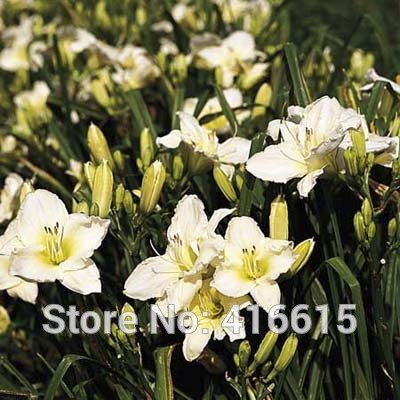 Day Lily Daylily Seeds Hemerocallis Lady Elizabeth Reblooming Seeds Hemerocallis Fulva Day-lily Flower Seeds Ground Cover Plants