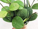 Limited Hoya Obovata Hoya Wax Plant House Plant Vine Plant Indoor Plant Gift Easy Care Plant