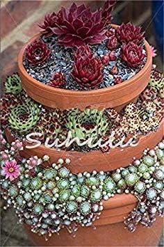 Vistaric 100 piezas asombrosas plantas de Sempervivum Mezclado Mini Jardín Suculentas Semillas de cactus Perennes -House Leeks Live Forever Easy to Grow 5: Amazon.es: Jardín