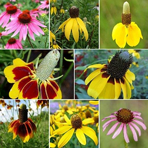 (David's Garden Seeds Flower Coneflower Conehead Mix SL5558 (Multi) 500 Non-GMO, Open Pollinated Seeds)