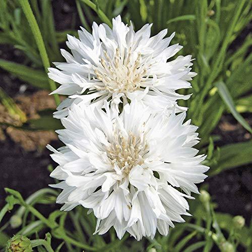 M-Tech Gardens Rare Cornflower