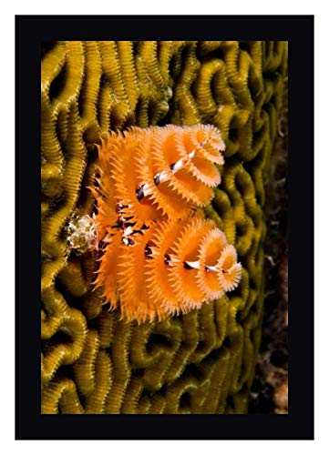 Christmas Tree Worm Filter Feeding While Attached to Brain Coral, Bonaire, Netherlands Antilles, Car by Pete Oxford 24