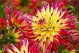 Tahiti Sunrise Dahlia - 2 Bulb Clumps - Vibrant Color!