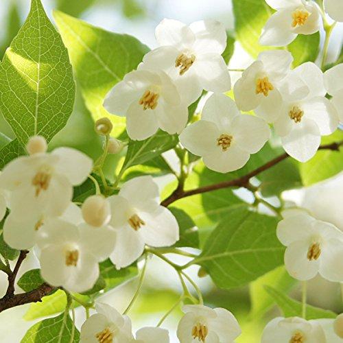 【40本セット】 エゴノキ 樹高0.5m前後 10.5cmポット えごのき エゴの木 白い清楚な花が、枝いっぱいに咲く木 苗木 植木 苗 庭木 生け垣 B00LBS8YWG