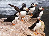 Wee Blue Coo Animal Photo North Atlantic Puffins Wall Art Print Picture Poster
