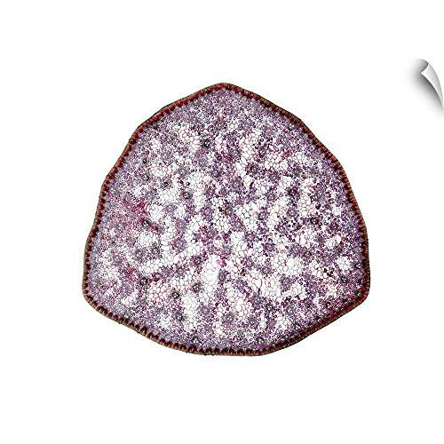 CANVAS ON DEMAND Umbrella Grass stem, Light Micrograph Wall Peel Art Print, ()