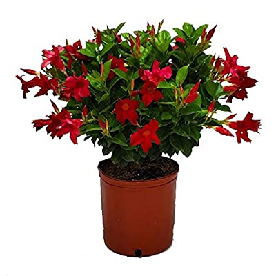 """Dipladenia Bush Live Plant - Red - 3 Gallon Pot - Overall Height 22"""" to 26"""" - Tropical Plants of Florida : Garden & Outdoor"""