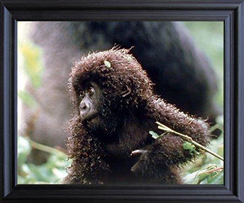 Baby Mountain Gorilla (Baby Mountain Gorilla Wild Animal Wall Decor Black Framed Picture Art Print (19x23))