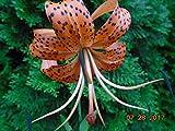 6 Orange Tiger Lily Bulbs, Lilium lancifolium splendens, Size 5-7, 7