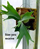 Staghorn Fern Mounted - EXOTIC - Great Houseplant - 8""