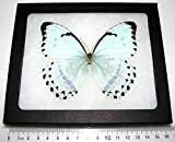 Bicbugs, LLC Real Framed Butterfly ICE Blue Morpho CATENARIUS