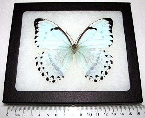 Bicbugs, LLC Real Framed Butterfly ICE Blue Morpho CATENARIUS